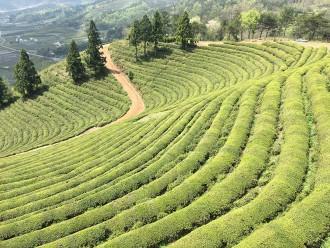 Plantation de thé vert Boseong