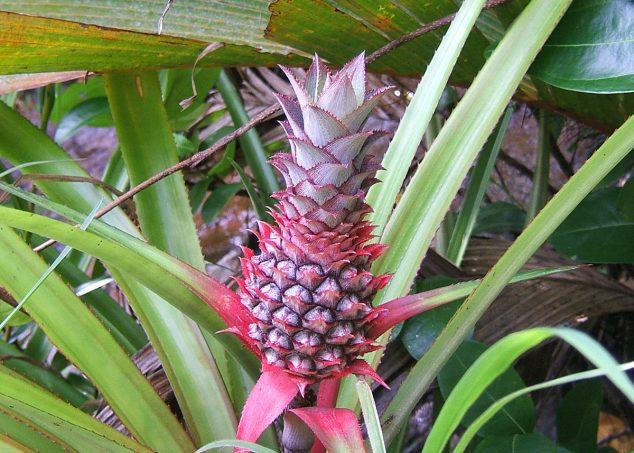 ananas seychelles