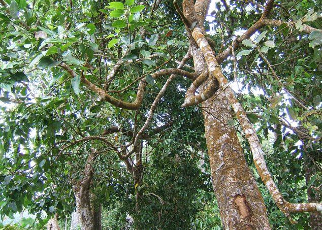 cannelier arbre à cannelle