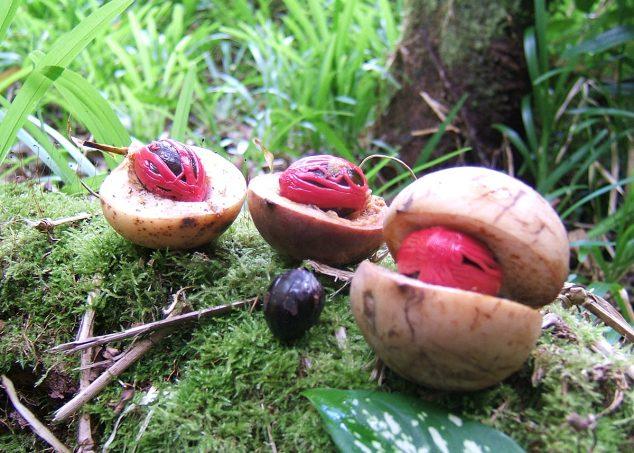 noix de muscade fraiches seychelles